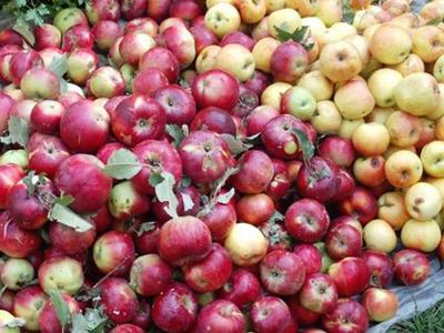 ВАрхипо-Осиповке сосклада сторож похитил яблоки на90 тыс. руб.