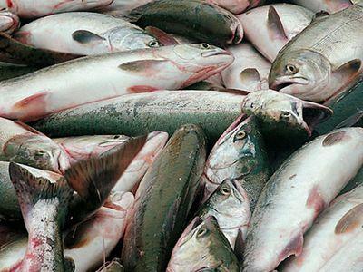 Росрыболовство объяснило снижение вылова рыбы трудной ледовой обстановкой