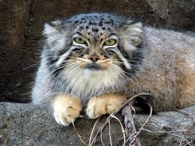 Скрытного манула покажут гостям зоопарка вчесть интернационального дня кошек