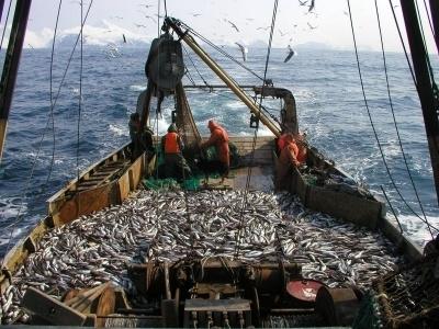Рыболовы выловят весной вКалининградском заливе 4 тыс. тонн салаки