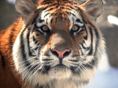Гражданин Приморья осужден за транспортировку туши ичастей амурского тигра