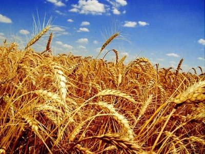 Ученые изКрасноярска отыскали устойчивые кзасухе виды пшеницы