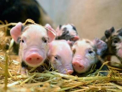 Биологи вырастили свиней счеловекоподобными органами