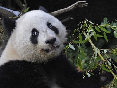 Посетители зоопарка в Пекине закидали камнями панду