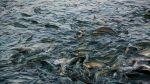 Рыбоводные предприятия Сахалина выпустили на нагул почти 750 млн тихоокеанских лососей