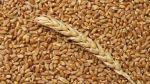В России могут обнулить экспортную пошлину на пшеницу