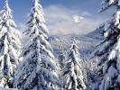 В Омской области началась заготовка хвойных деревьев к Новому году