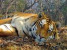 Китай и Россия создадут совместный национальный парк тигра и леопарда