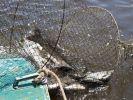 Росрыболовство взыскало с браконьеров 17,8 млн руб.