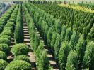 В лесных питомниках Гомельской области будут выращивать деревья-крупномеры