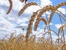 В Башкортостане жатва хлебов начнётся на три недели позже обычного
