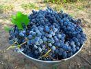 В Дагестане собрали рекордный урожай винограда