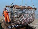 Рыбаки Приморья увеличили вылов трески и камбалы