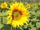 Запасы семян подсолнечника в хозяйствах на 20% ниже, чем год назад