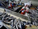 Ученые оценили перспективы промысла сельди на Дальневосточном бассейне