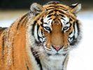 В Приморье тигр напал на двух охотников