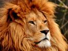 Учёные нашли способ сохранить популяцию африканских львов