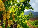 The Area of Vineyards in Crimea Has Tripled