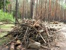 In Russia Officially Allowed the Picking of Fallen Trees