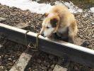 """""""Отжил своё"""" - заявил владелец пса, привязанного к рельсам, которого спас машинист"""