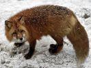 Дроздов рассказал, когда закончится нашествие лис в Москве