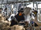В Британии начали доить коров с помощью технологии 5G