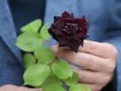 В Турции начался сезон цветения уникальных чёрных роз