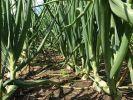 Украинцам посоветовали заменить подорожавший лук крапивой