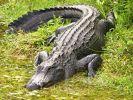 Нырнувший в бассейн аллигатор напугал отдыхающих