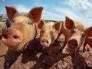 Гонконг сообщает о вспышке африканской чумы свиней
