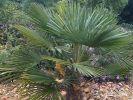 В Крыму пальмы оказались под угрозой гибели из-за завезённых насекомых
