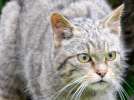Британские дикие кошки вернутся в леса впервые с 19 века