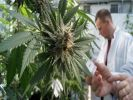 В США работодателей обяжут принимать на работу любителей марихуаны