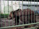 Домашний медведь напал на пьяного жителя Омска