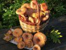 Названы полезные для организма грибы