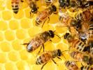 В Туле массово гибнут пчелы