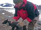 Полярная лиса преодолела 3,5 тысячи км от Норвегии до Канады за 76 дней