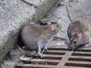 Власти Норильска не считают нашествие крыс чрезвычайной ситуацией