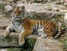 Международный день тигра отмечают сегодня в мире