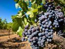 Объёмы господдержки виноградарям Крыма увеличились за 5 лет в восемь раз