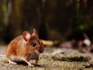 The Investigative Committee Opened a Case Due to an Outbreak of Mouse Fever in the Saratov Region