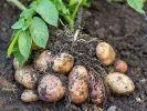 В Магадане вывели новый сорт картофеля, устойчивого к морозам