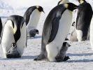 Учёные обнаружили огромного окаменелого пингвина