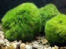 Обнаружена древнейшая водоросль на Земле