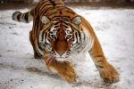 В Цюрихе тигрица насмерть загрызла сотрудницу зоопарка