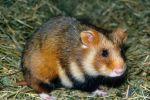 Учёные обыкновенного хомяка из Европы и России признали исчезающим видом