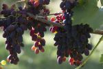 The New Law on Viticulture and Winemaking Increased the Demand for Stavropol Grapes