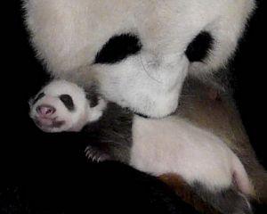 У гигантской панды из зоопарка Вашингтона родился второй детёныш