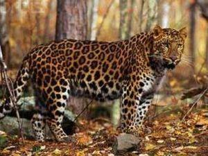 Учёные России и Китая отследили перемещения леопардов и тигров