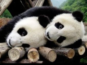 KLM Cargo: Giant pandas arrive in the Netherlands on 12 April